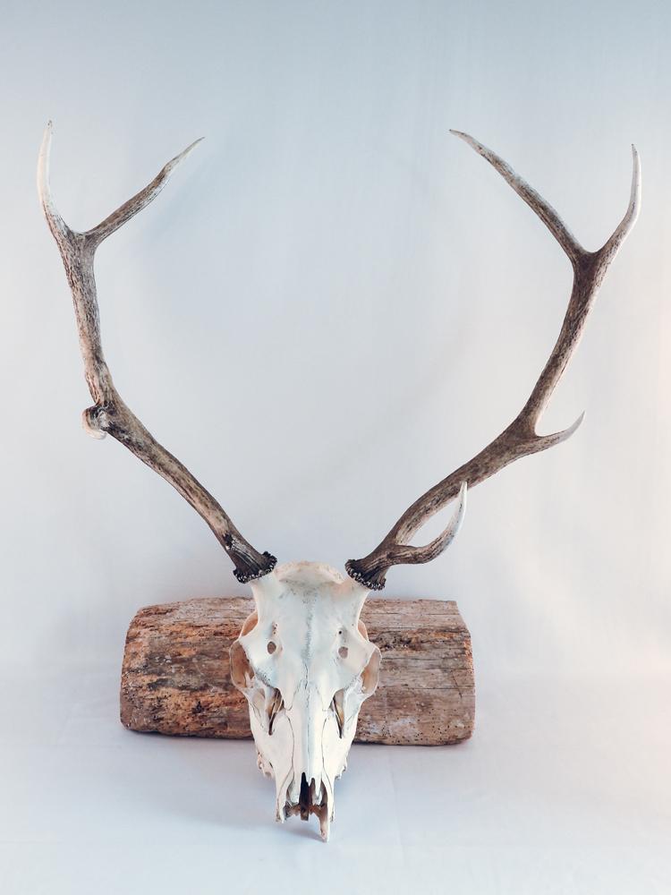 Stag skull