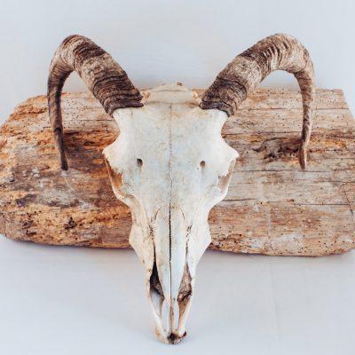 Sheep skulls